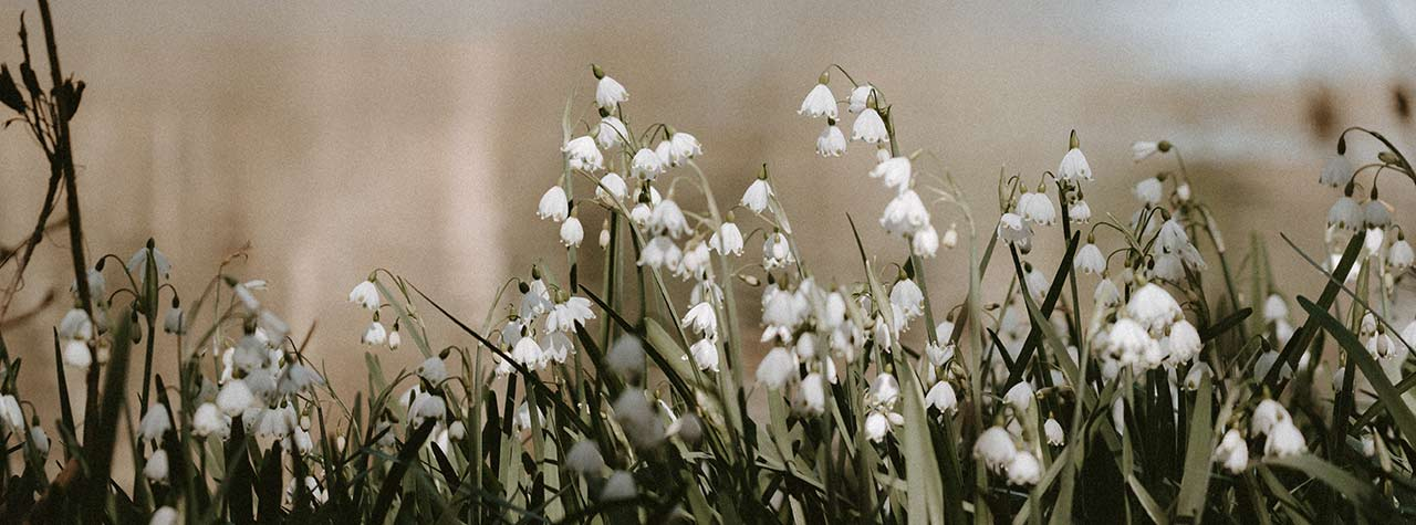 seasonal image of snowdrops near a body of water