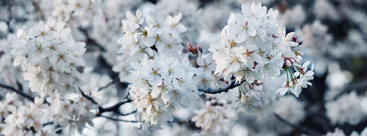 close up of white blossoms