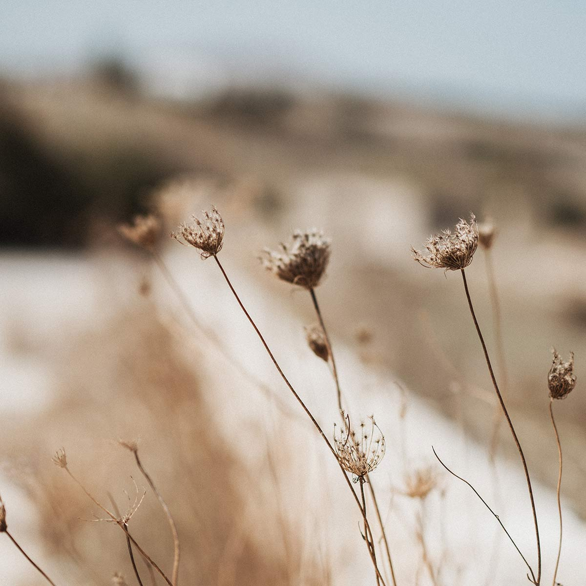 Selective focus image of dried flowers in summer