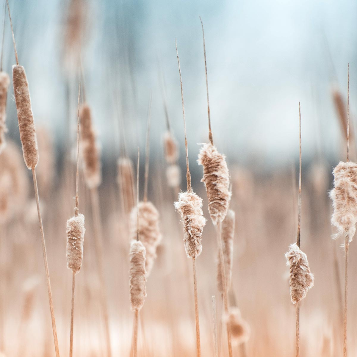 selective focus image of dried grasses against a blue sky